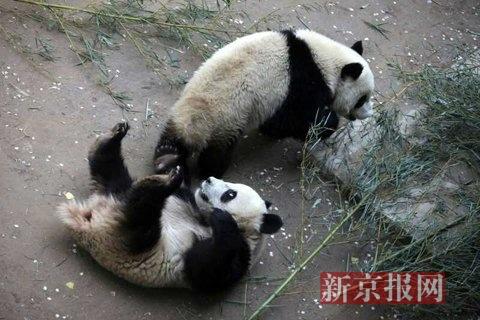 """【组图】3只""""少年熊猫""""五一亮相北京动物园"""