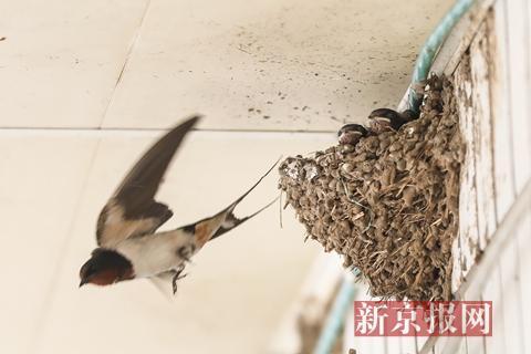 房檐下的燕子正在餵养幼鸟.