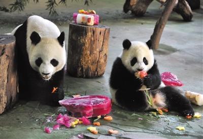 """台北动物园为大熊猫""""圆圆""""人工授精"""